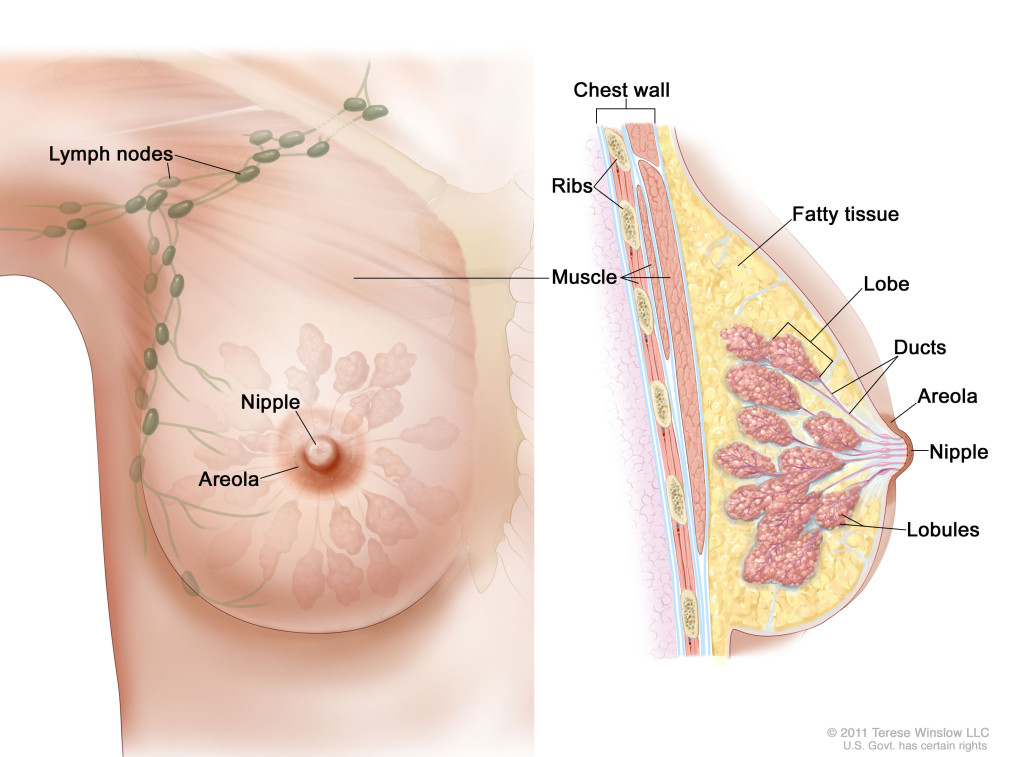Anatomy of the female breast.