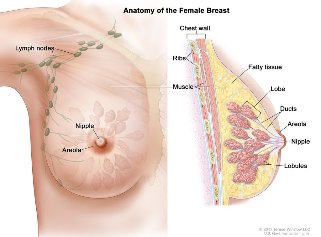 Anatomy of the Female Breast. Copyright © 2011 Terese Winslow LLC